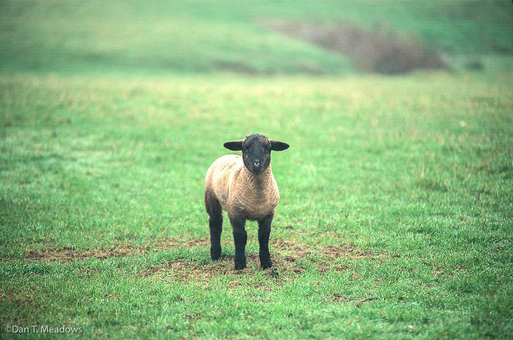 Welsh Lamb, Color