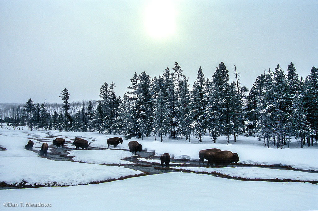 Bison Looking for Warmth