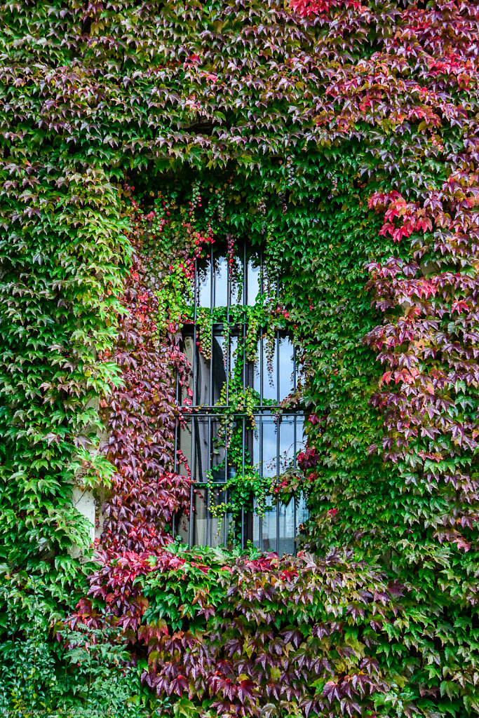Looking Through Ivy